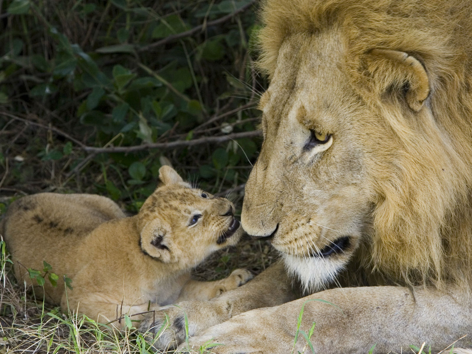 leone-con-cucciolo